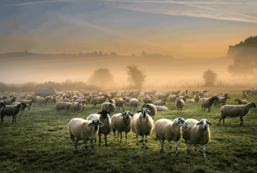 Kurbanlık Koyun Nasıl Olmalıdır?