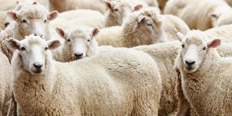 Kırklareli Kurbanlık Koyun